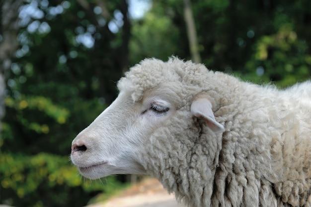 Schafe hautnah auf einem hintergrund des waldes