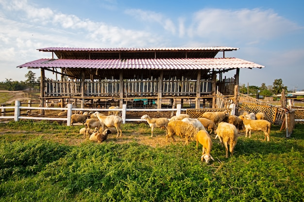 Schafe im bauernhof, der haus anhebt.