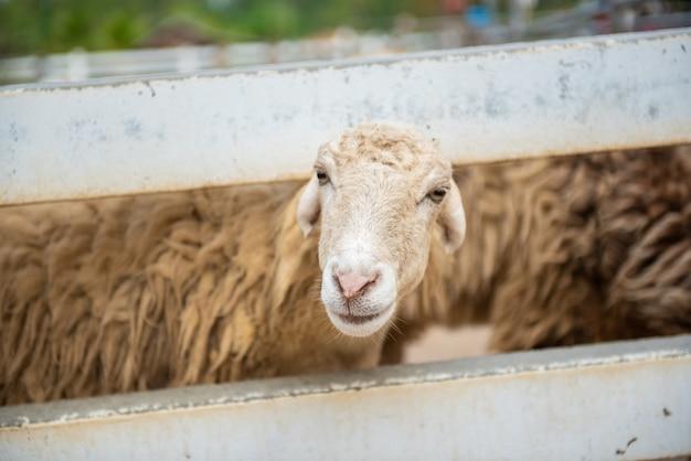 Schafe im bauernhof. weiße masse im weinlesebauernhof
