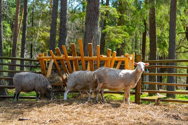 Schafe im gehege. schafe auf dem bauernhof.
