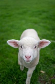 Schafe im grünen feld