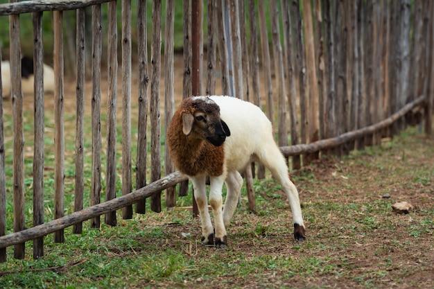 Schafe im käfig im zoo