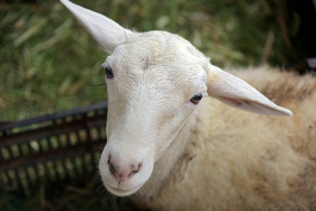 Schafe im stall mit tieren