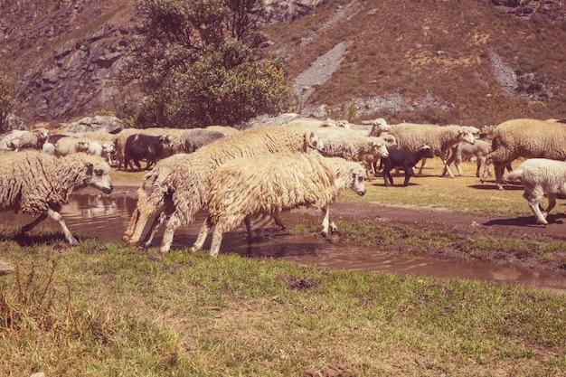 Schafe in den bergen