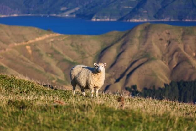 Schafe in der grünen bergwiese, ländliche szene in neuseeland