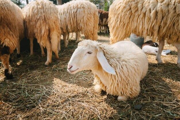 Schafe in der landschaftsfarm