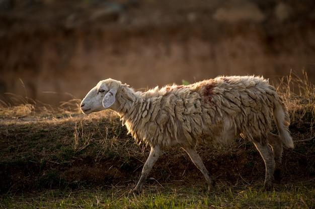 Schafe in einer wiese auf grünem gras