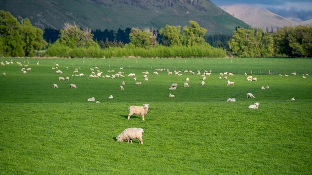 Schafe mit natürlicher landschaft