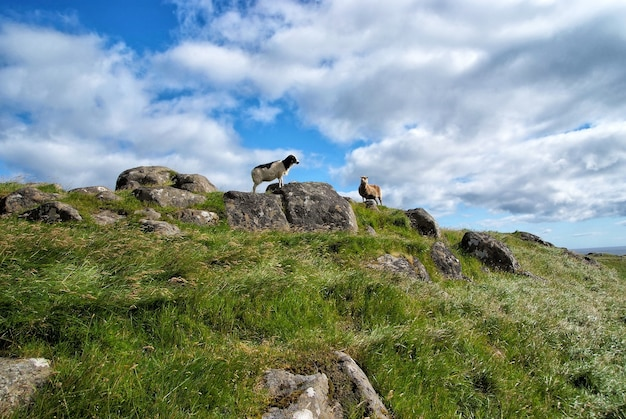 Schafe mit wolle, die auf einem hügel oder einer bergspitze mit grünem gras und steinen auf blauem hintergrund des bewölkten himmels auf den färöern stehen? Premium Fotos