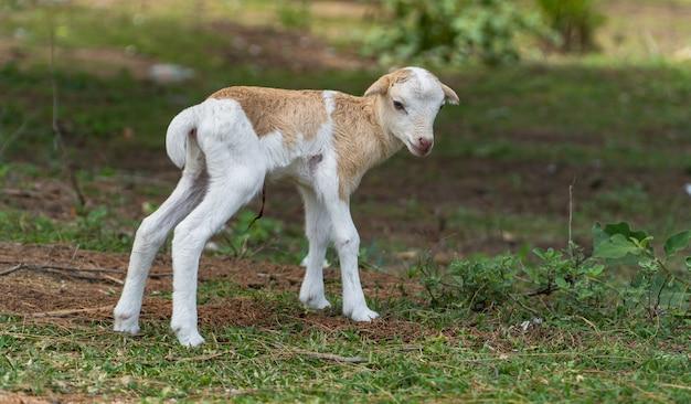 Schafe neue bindung beginnen stehen auf dem feld