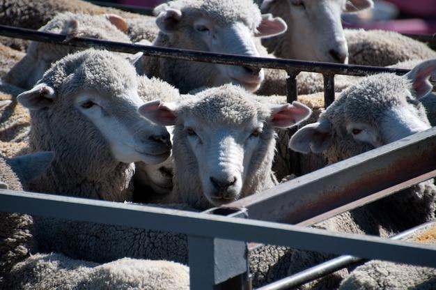 Schafe punta arenas, chile patagonien
