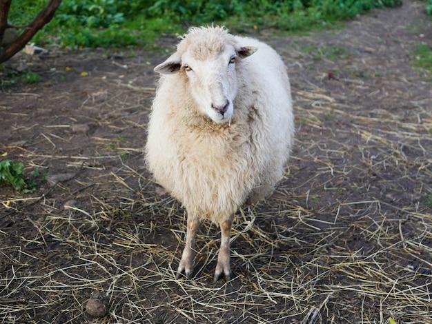 Schafe schauen in die kamera. schafe, die kamera auf dem feld betrachten.