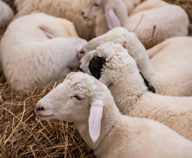 Schafe schlafen auf der farm