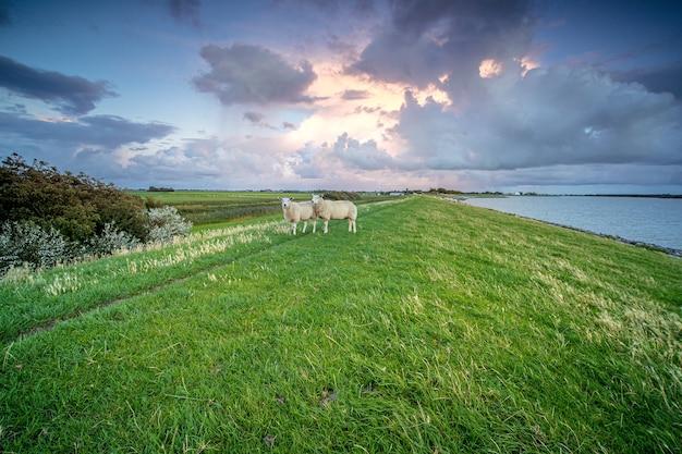 Schafe stehen auf dem gras in der nähe eines sees