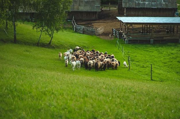Schafe und ziegen grasen auf der wiese