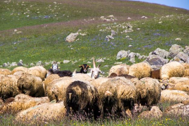 Schafe und ziegen im tal. haustierleben. bauernhof in den bergen. große gruppe von schafen.