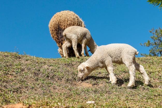 Schafe und zwei lämmer fressen das gras