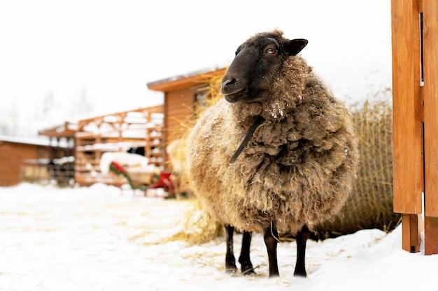 Schafe, vieh auf einer ranch oder farm im winter gegenüber einem heuhaufen.