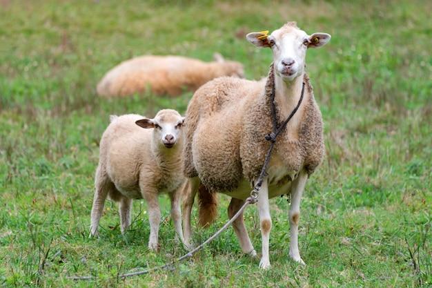 Schafgruppe und lamm auf einer wiese mit grünem gras. schafherde.