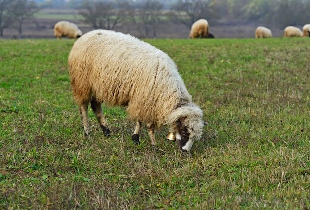 Schafherde auf einer bergweide