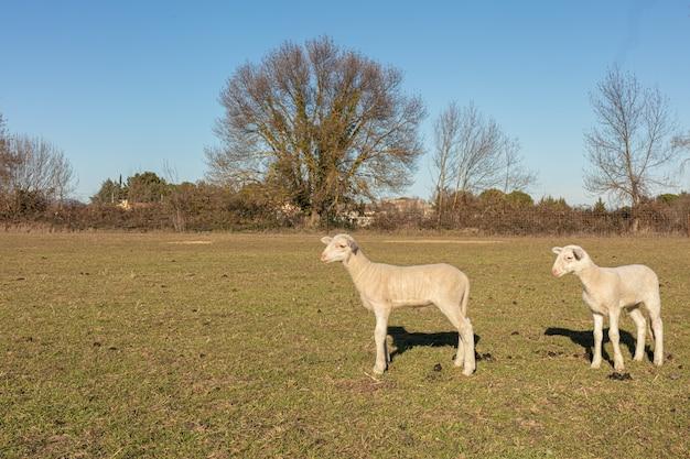 Schafherde auf einer wiese auf dem land