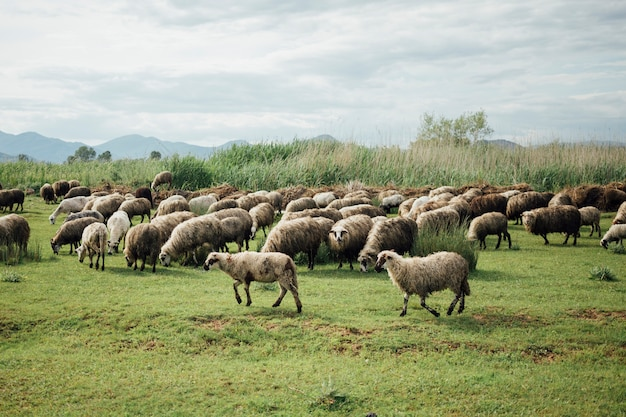Schafherde des langen schusses, die gras auf weide isst