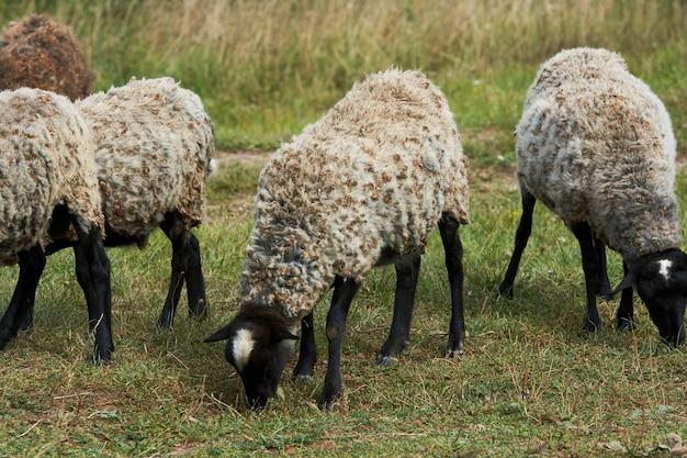 Schafherde, die auf dem sommerfeld weiden lässt. schafe auf einem bauernhof