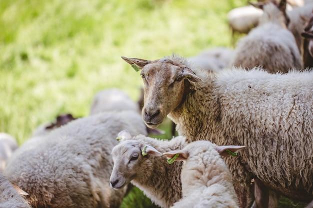 Schafherde, die auf einem grasbedeckten feld weidet, das an einem sonnigen tag gefangen genommen wird