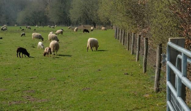 Schafherde, die auf einer wiese in der flachen niederländischen landschaft mit bäumen auf dem horizont in speing weiden lässt