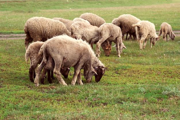 Schafherde, die auf einer wiese weiden lässt