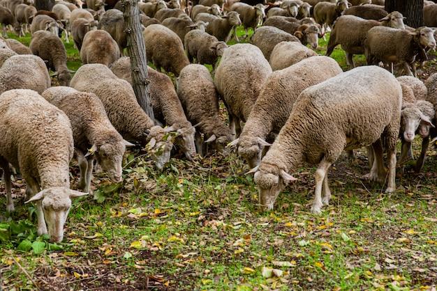 Schafherde, die gras isst