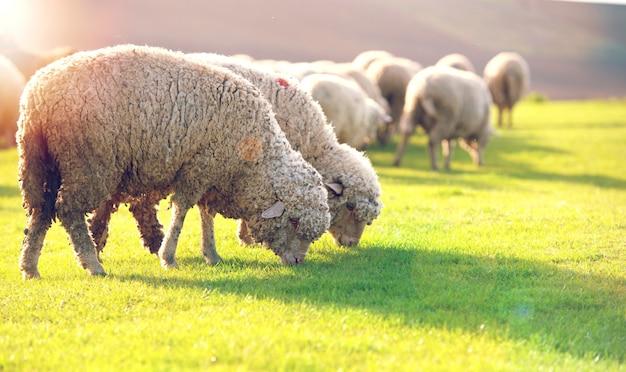 Schafherde, die in einem hügel bei sonnenuntergang weiden lässt.
