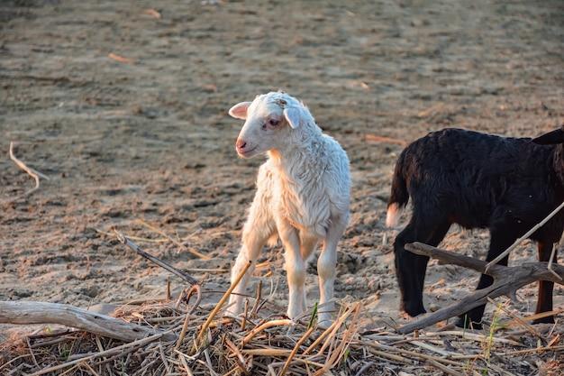 Schafherde, die in einem hügel weidet. weißes lamm in einer schafherde