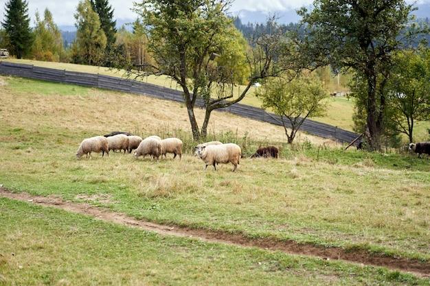 Schafherde, die weide am fuße der karpatenberge weidenden schaf-hausfarm weidet