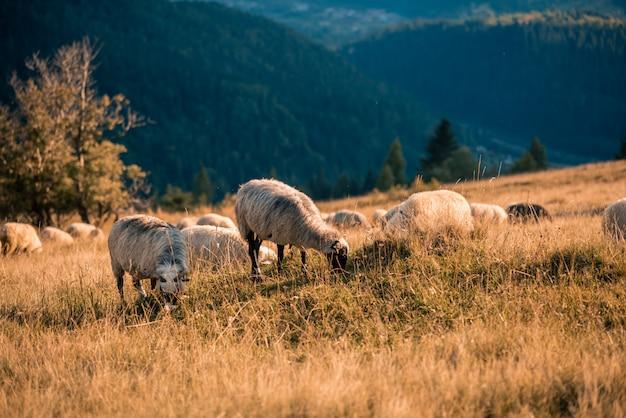 Schafherde in den bergen auf dem sonnenunterganghintergrund