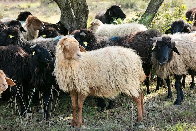 Schafherde in freiheit versammelt