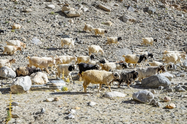 Schafherde und ziege im sandsteinberg, leh im norden von indien.