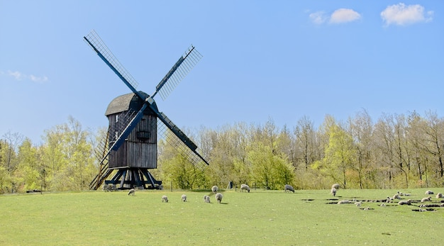 Schafherde weidet auf der weide in der nähe einer alten windmühle mit grünen bäumen dahinter