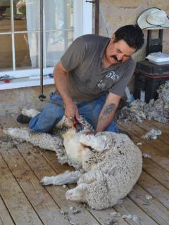 Schafschur sheepshearingwoo