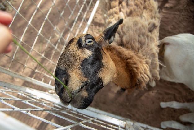 Schafvieh mit langer wolle gras füttern