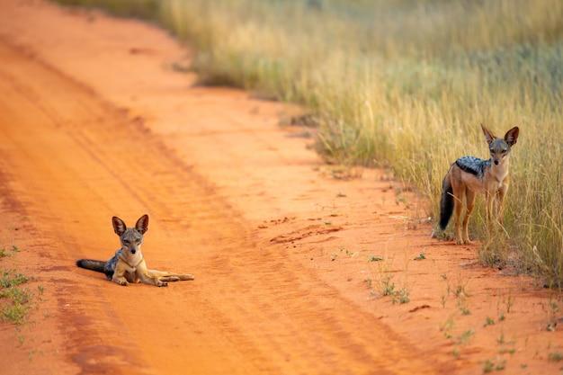 Schakal auf der straße in der savanne posiert und schaut zu