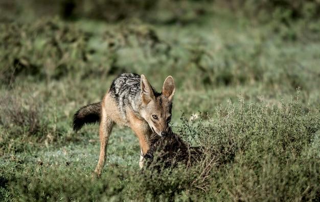 Schakalessen im serengeti-nationalpark