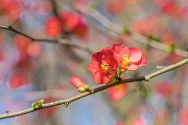 Scharlachrot der japanischen quitte blüht gegen einen unscharfen hintergrund mit raum