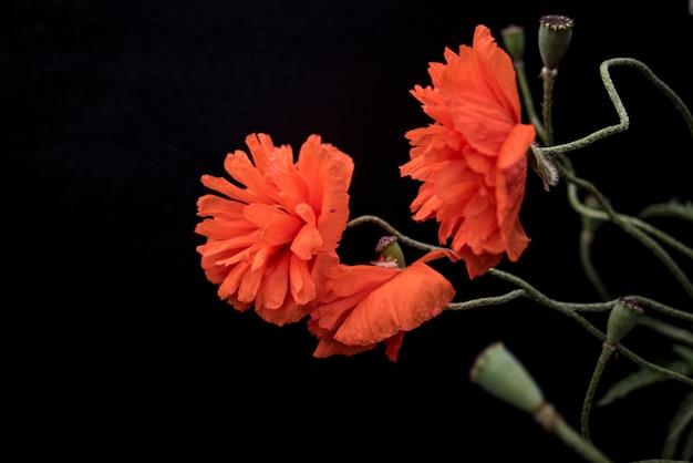 Scharlachrote mohnblumen auf einem schwarzen hintergrund