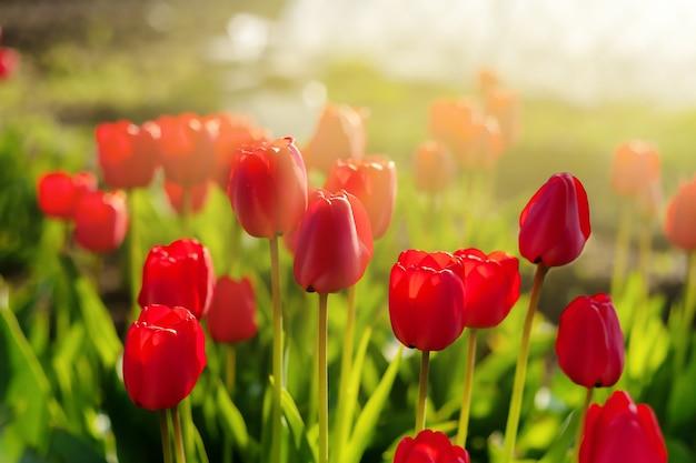 Scharlachrote tulpen in den morgenstrahlen der sonne tulpen nahaufnahme