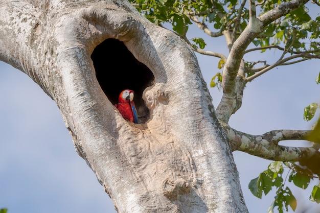 Scharlachroter ara in einem baumloch