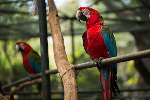 Scharlachroter ara-papageienvogel, schöner roter vogel, der auf dem hölzernen baumstamm sitzt