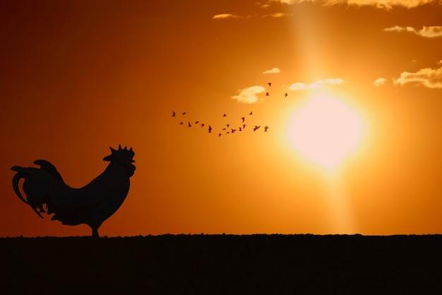 Schattenbild des krähenden stands des hahns auf feld morgens mit sonnenaufgang