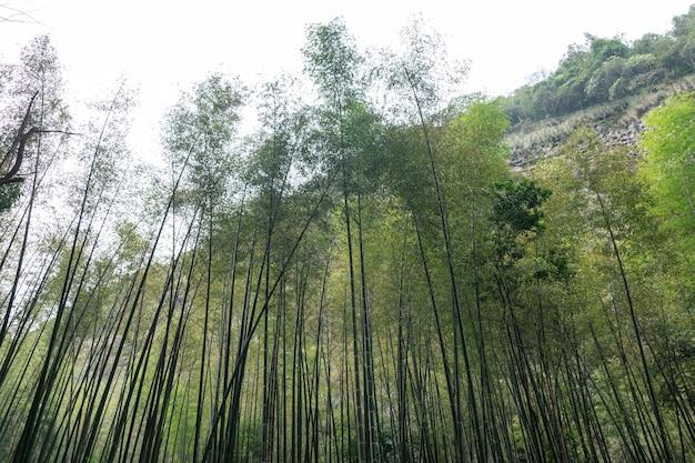 Schauen sie auf den bambuswald in den bergen