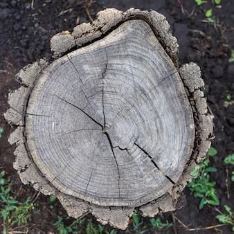 Scheibe mit rissen eines alten baumstumpfes, natürlicher hintergrund
